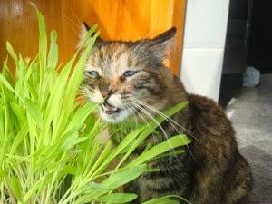 Plante graminha para gatos