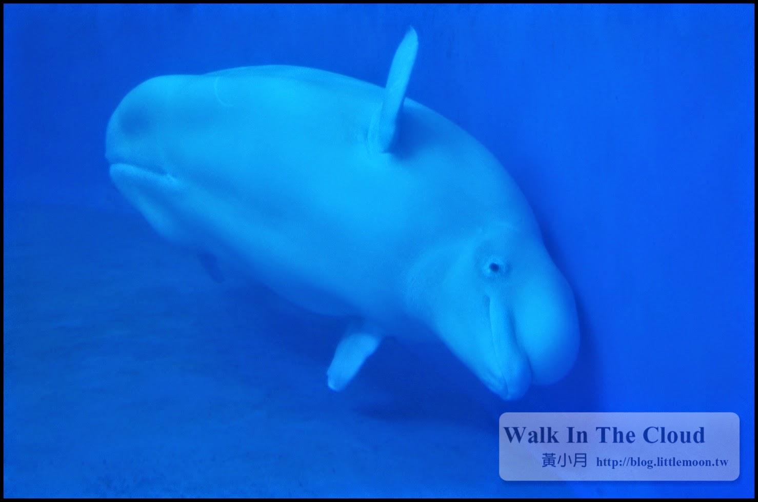 招牌小白鯨