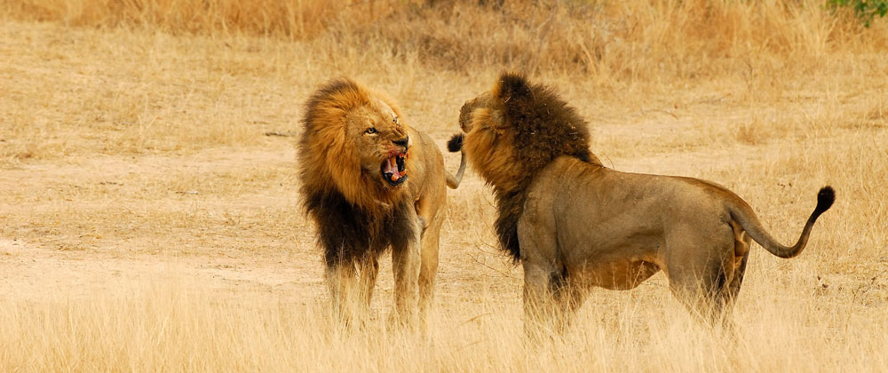 Lion fight with man - photo#23