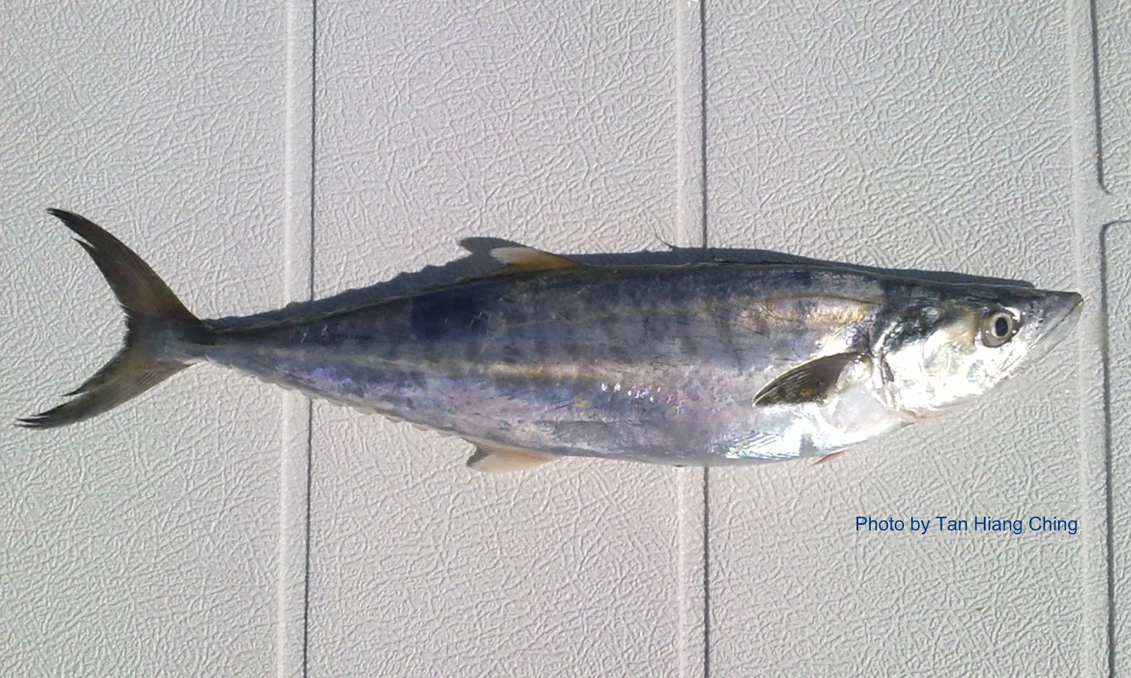 Scombrids spanish mackerels talk about fish for Spanish mackerel fish