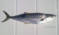 Broad-barred King Mackerel
