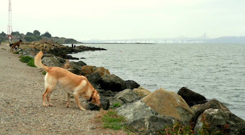 rocky coastline with a gravel path, in the distance is the bay bridge, few dogs scattered along the path, with cabana in the foreground, sniffing the rocks