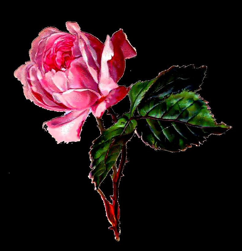 Imagenes De Rosas Dibujadas