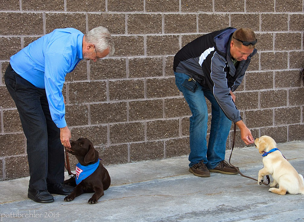 The same two men are now both leaning over toward their puppies to give them a treat! The puppy on the right is starting to come out of the down position to get the treat.