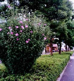 El jardin bueno bonito y barato las plantas for Hibiscus arbol