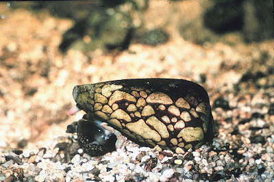 Foto Siput Marbled Cone (Marbled Cone Snail)