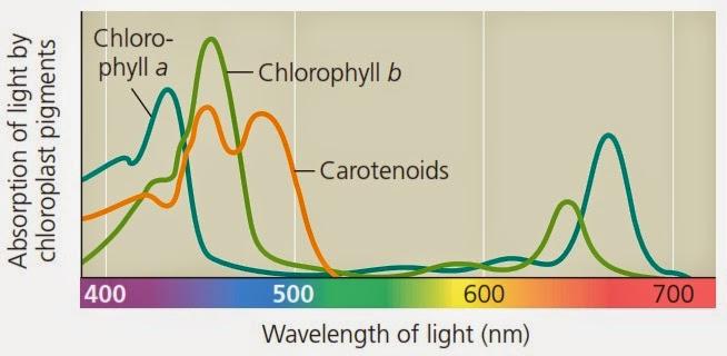 penyerapan cahaya oleh pigmen klorofil