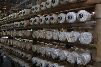 Peluang usaha gres bisnis budidaya jamur tiram