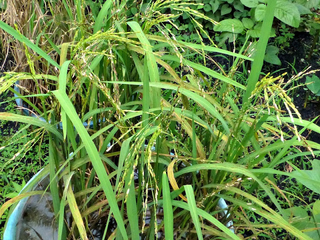 rice-plant-one-utama