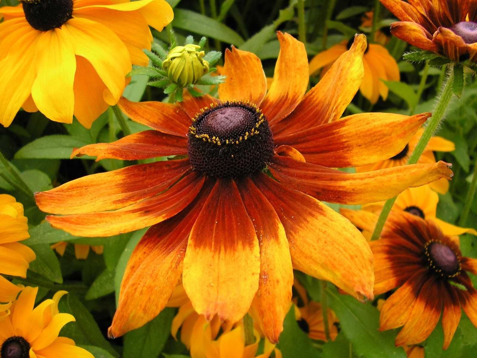 How To Grow Rudbeckia The Garden Of Eaden