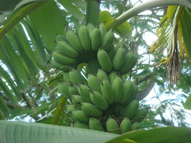 วิธีการปลูกกล้วยน้ำว้า ให้มีกล้วยขายตลอดปี..