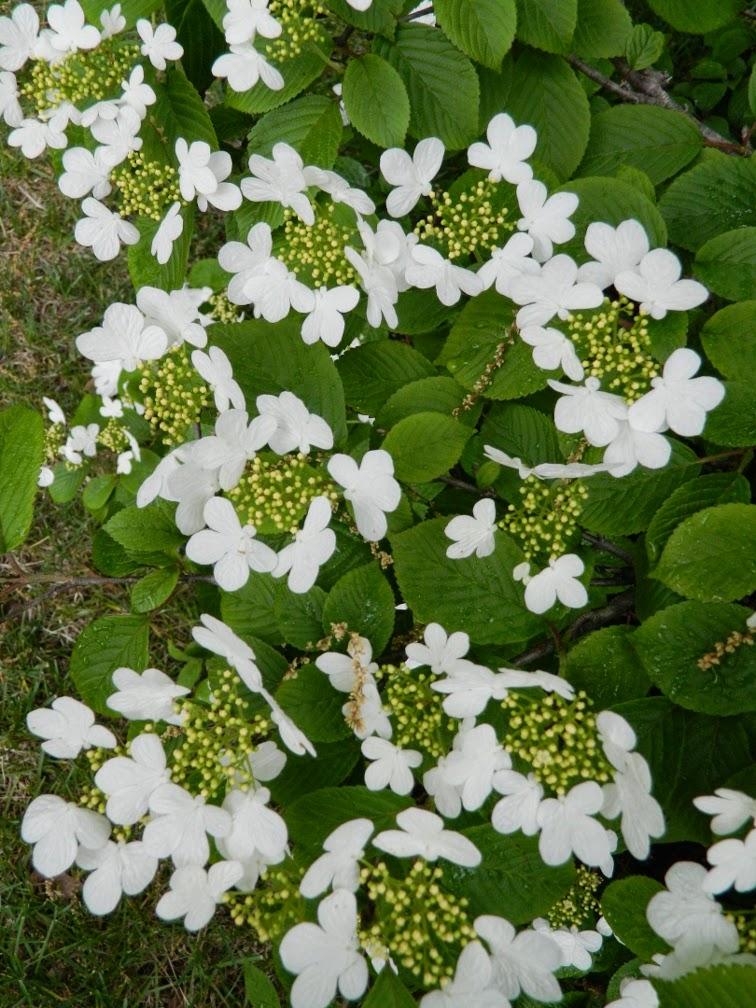 Viburnum plicatum f tomentosum Summer Snowflake doublefile viburnum by garden muses-not another Toronto gardening blog