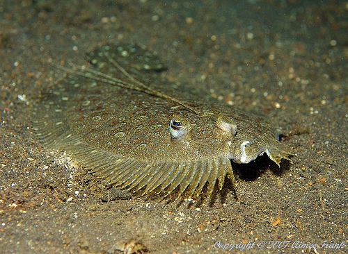 Flounder fish fact and photos the wildlife for Picture of a flounder fish