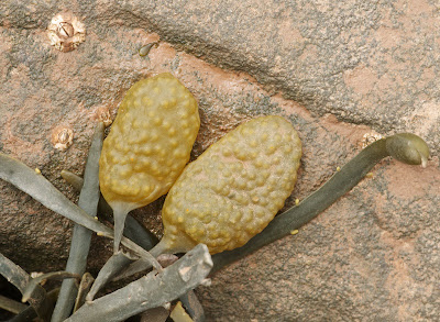 Rockweed (Fucus vesiculosus)