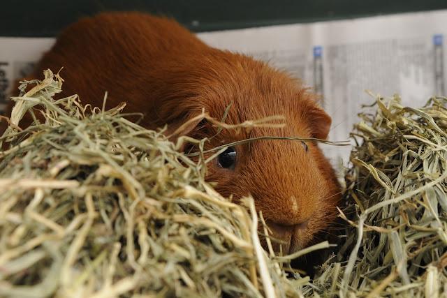 cavy in hay