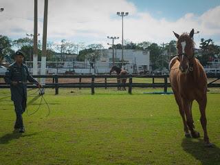 Cinco cavalos apreendidos de traficante serão usados pela PM em Mato Grosso. (Foto: Maria Anffe/GcomMT)