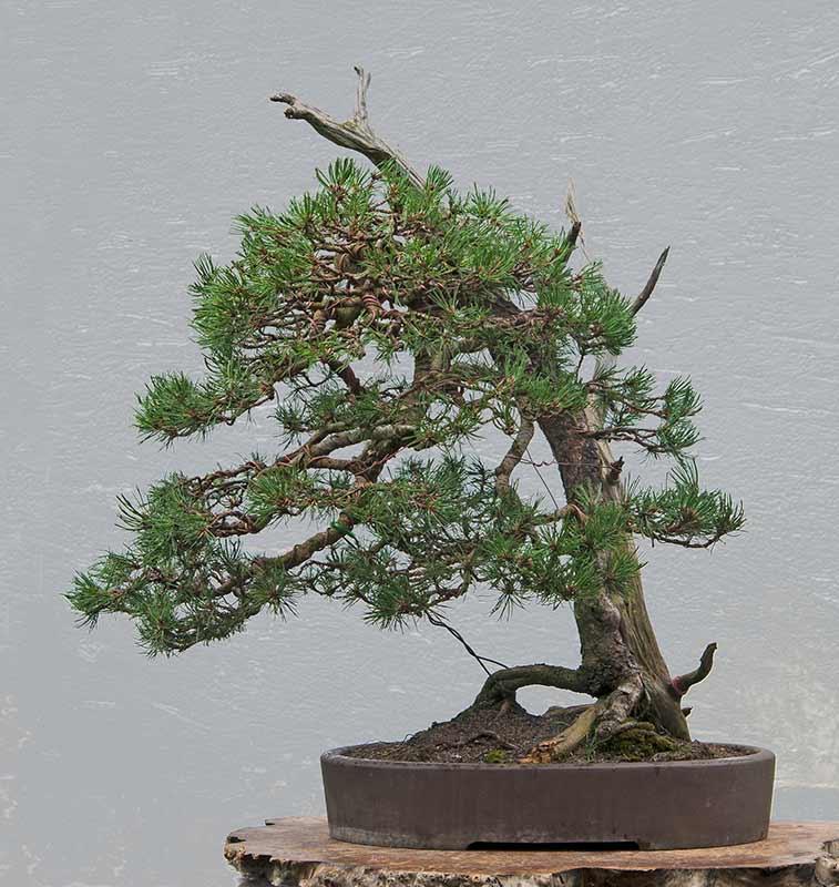 walter pall bonsai adventures mugo pine 4. Black Bedroom Furniture Sets. Home Design Ideas