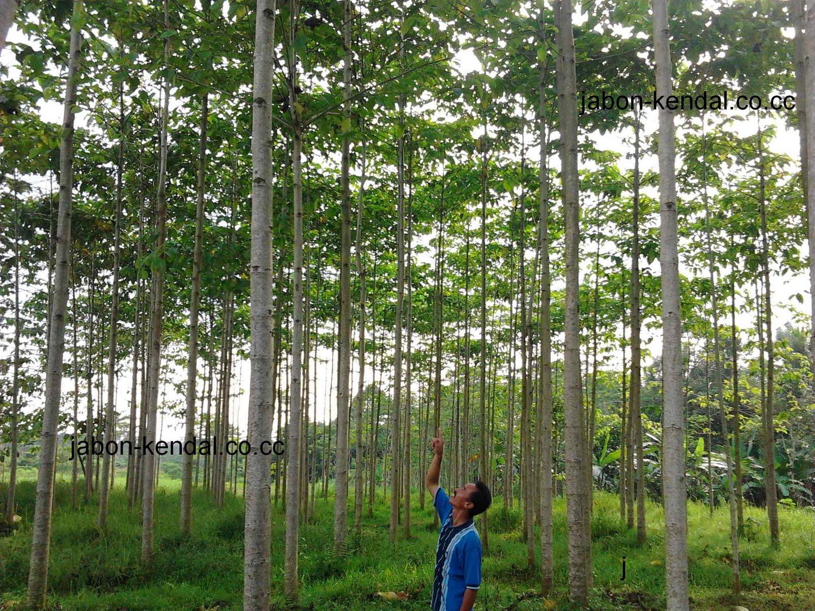 sejarah budidaya pohon jabon