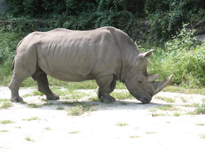 Rhino In Southwick Zoo