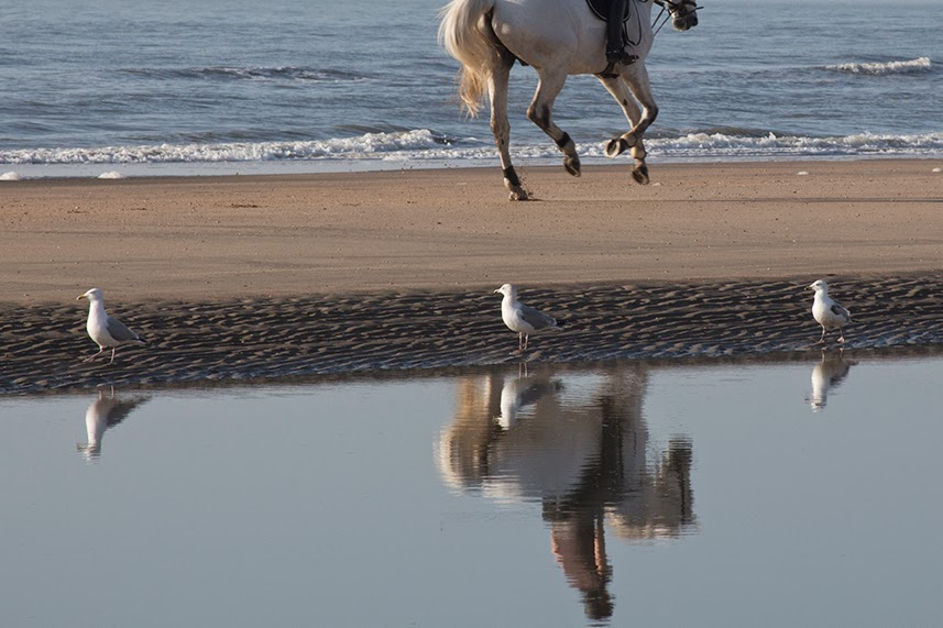 seagulls looking at running horse