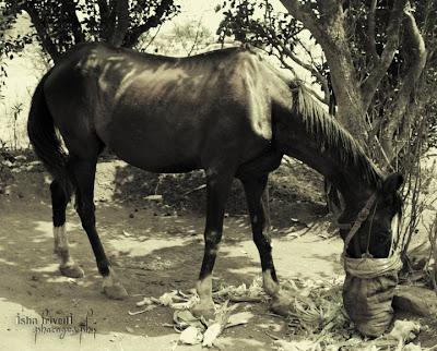 """HORSE clicked by """"Isha Trivedi"""""""