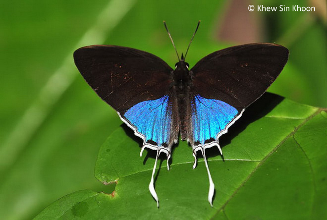 Physical Description of Adult Butterfly: Above, the male is dark brown on ...