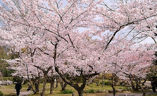 Taman Bunga Sakura - Sakura Garden