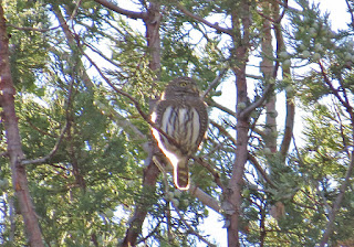 Northern Pygmy-Owl (Mountain)