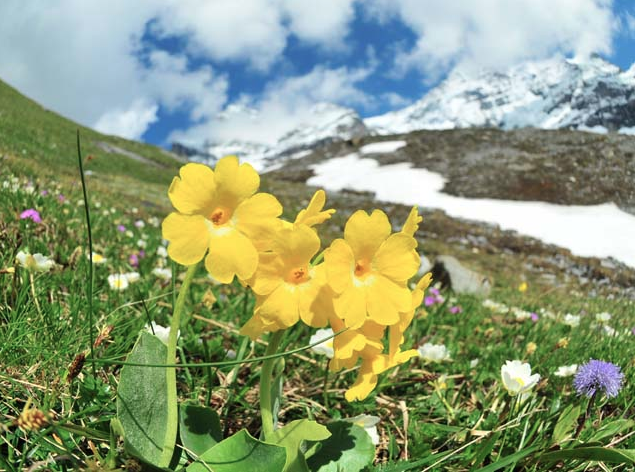 Primula auricula near the North Face, Switzerland