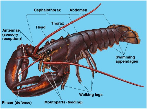 Pengertian Filum Arthropoda, Ciri dan Klasifikasinya