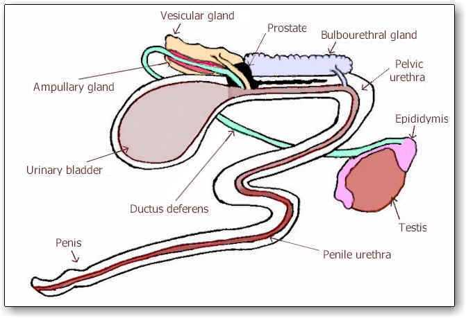 Diagram Muscles Diagram Human Male Reproductive System