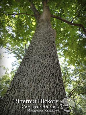 Bitternut Hickory Bark