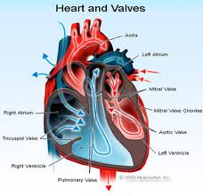 Constriction of aortic valve