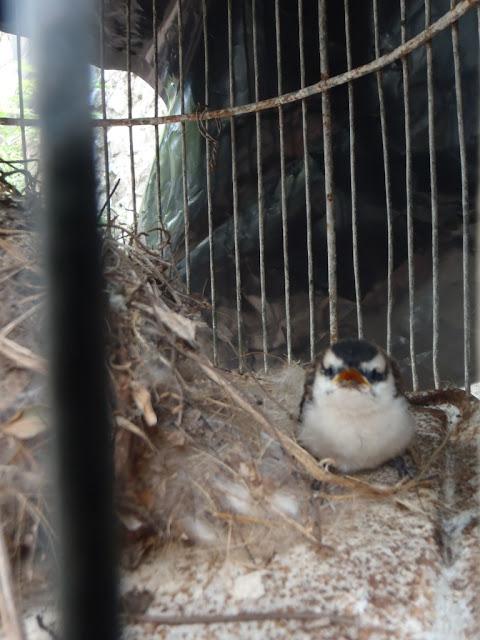 birdwatching Nicaragua wrens