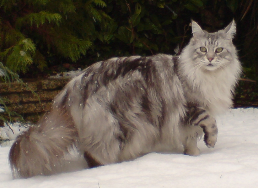 Maine Coon - Pets Cute and Docile