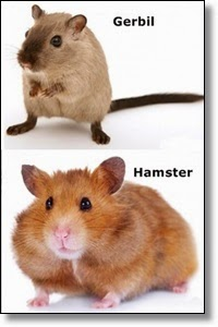 Picture of hamster and gerbil