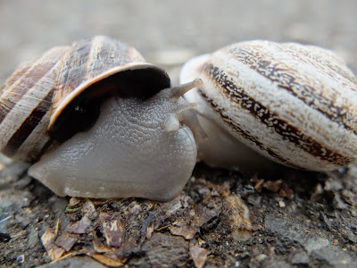 Twin Milk Snail Shells