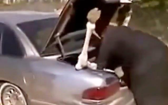 Unta Dipaksa Masuk Bagasi Mobil