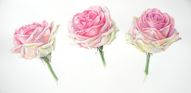 Watercolour studies of pink roses by Shevaun Doherty