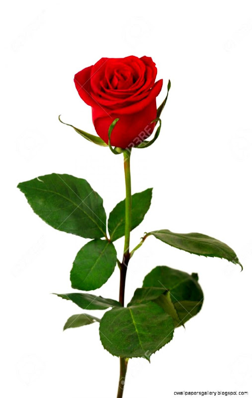 Single Red Rose On A White Background Stock Photo Picture And