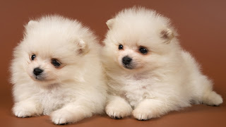 It's So Fluffy I'm Gonna Die ! Movie Quote HD Wallpaper Cute Puppies