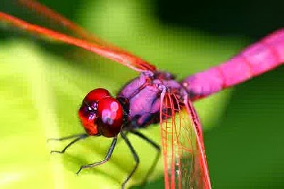 capung langka warnanya pink