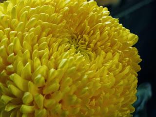 хризантемы, желтая хризантема, осенние цветы