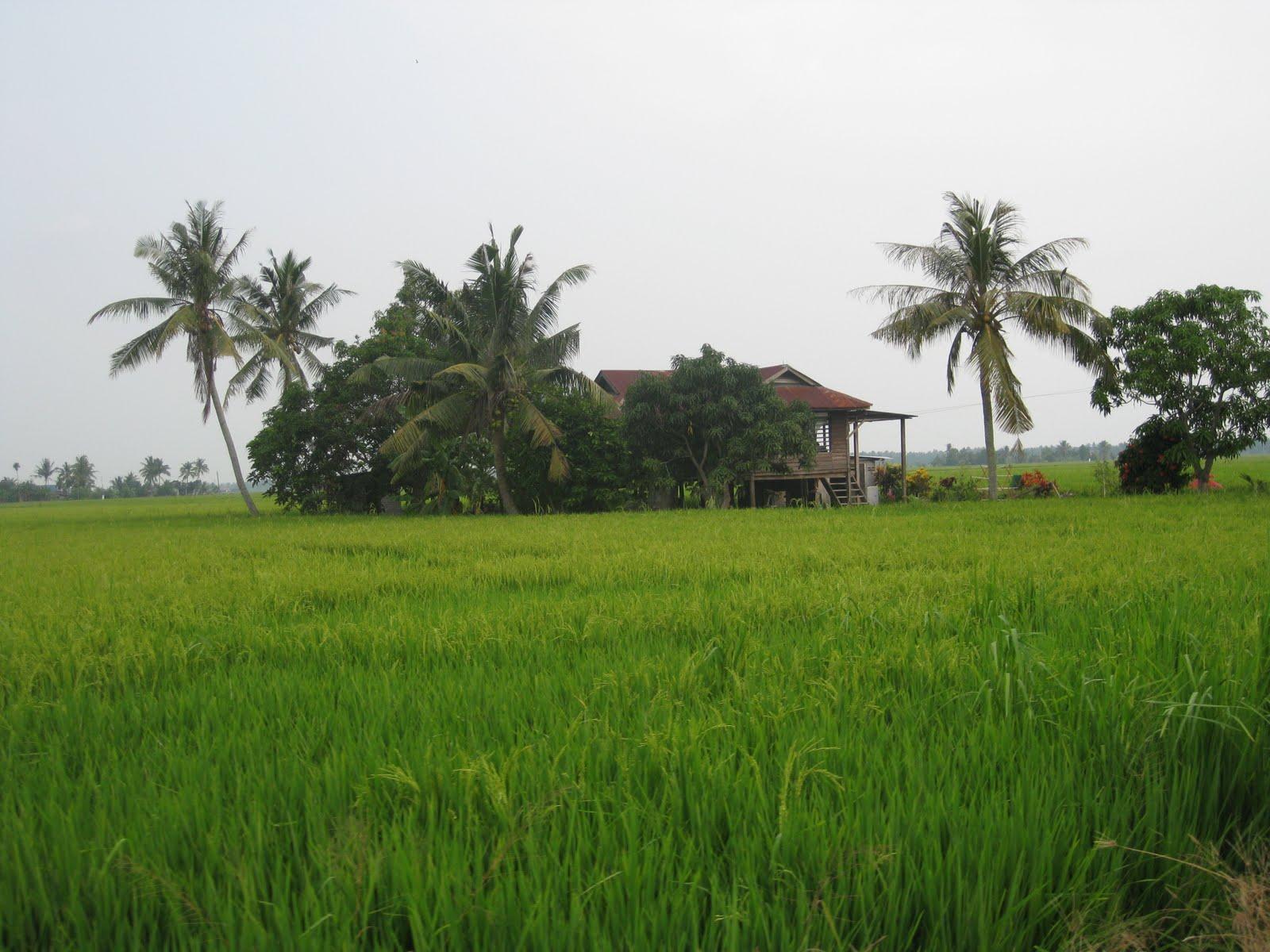 pemandangan sawah padi