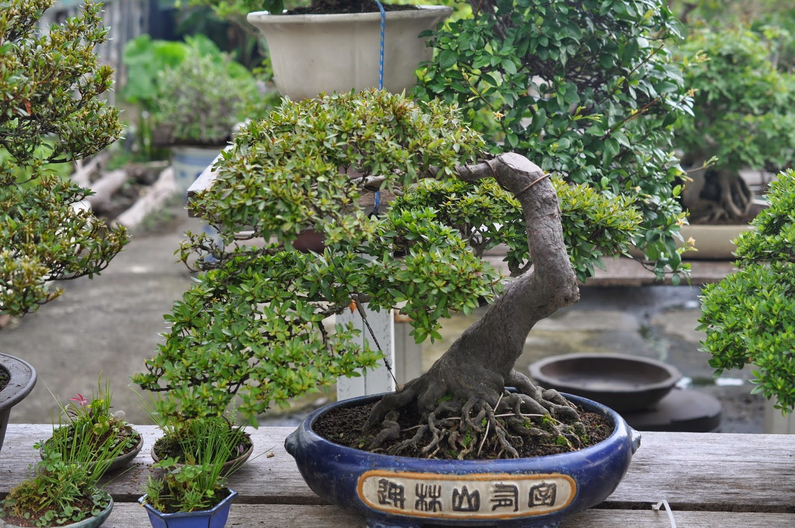 All In One Bonsai And Ceramics New Leaders