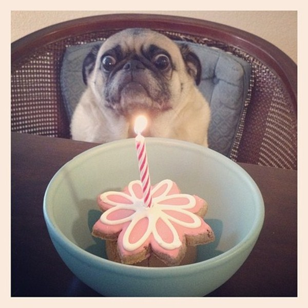 funny pug and cake, funny animal pictures of the week