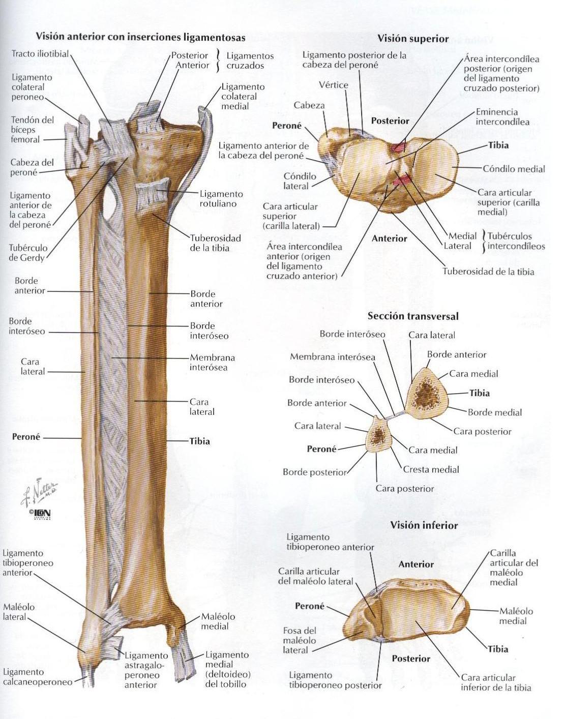 Hermosa Anatomi Peroné Tibia Componente - Anatomía de Las ...