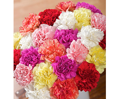Carnations flowers different carnation colors and their for What makes flowers different colors