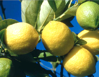 https://fr.wikipedia.org/wiki/Citron