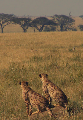 Cheetahs in the Serengeti reserve, Tanzania, Africa by JoseeMM